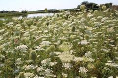 bloom pole białe kwiaty Parasole kwitnęli lato nastrój Obrazy Stock