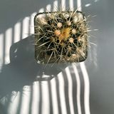 Bloom of a prickly pear cactus beside office window. And white background Royalty Free Stock Images