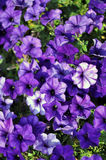 Bloom Purple petunia Royalty Free Stock Image