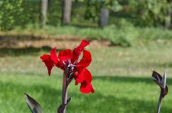 Bloom of Red canna flower in field Royalty Free Stock Photos