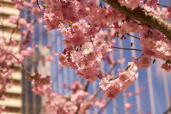 Bloom of the Sakura in Paris. Stock Images