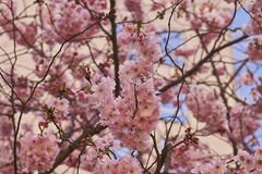 Bloom of the Sakura in Paris. Stock Photos