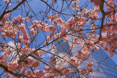 Bloom of the Sakura in Paris. There are some trees of Sakura in the La Defense, the major business district of Paris. It is the magnificent spectacle of the Stock Photo