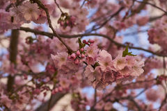 Bloom of the Sakura in Paris. Royalty Free Stock Images