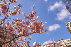 Bloom of the Sakura in Paris. There are some trees of Sakura in the La Defense, the major business district of Paris. It is the magnificent spectacle of the Stock Images