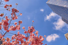 Bloom of the Sakura in Paris. There are some trees of Sakura in the La Defense, the major business district of Paris. It is the magnificent spectacle of the Stock Photos