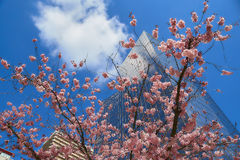 Bloom of the Sakura in Paris. There are some trees of Sakura in the La Defense, the major business district of Paris. It is the magnificent spectacle of the Stock Photography