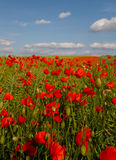 Bloom of scarlet poppies in an oilseed rape field Royalty Free Stock Images