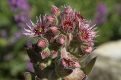 Bloom of Sempervivum tectorum Royalty Free Stock Photography
