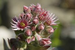 Bloom of Sempervivum tectorum Royalty Free Stock Images