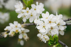 Bloom spring. Bloom cherry grow spring white Stock Images