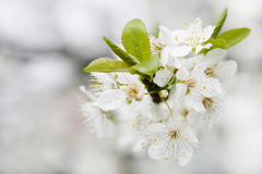 Bloom spring. Bloom cherry grow spring white Royalty Free Stock Photo