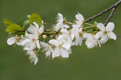 Bloom spring. Bloom cherry grow spring white Royalty Free Stock Photography