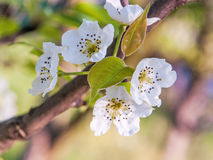 Bloom in spring5 Royalty Free Stock Photo