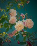 Bloom spring of roses royalty free stock photography