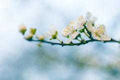 Bloom with stamen Royalty Free Stock Photos