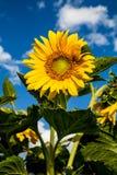 Bloom of sunflower. In Gansu, China Stock Photos