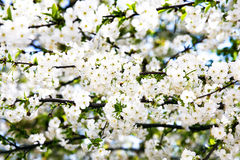 Bloom of sweet cherry Stock Images