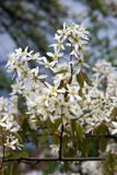 Bloom of tree Amelanchier Stock Images