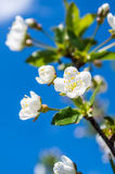 Bloom tree branch in sky. The flowers blooming on tree in the blue sky Stock Image