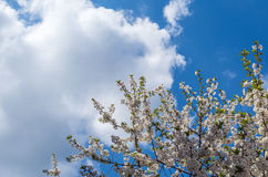 Bloom tree in cloudy sky. Blooming branch in clouds and blue sky Royalty Free Stock Photos
