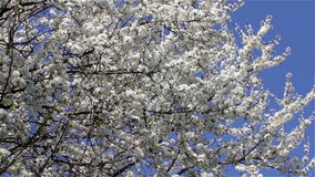 Bloom tree sky blue. Blue sky without a cloud and tree in spring bloom flowers bloomed profusely stock video