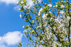 Bloom on the tree in spring. Spring blooming in the garden Stock Image