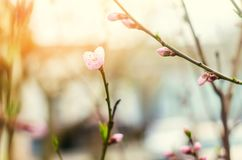 Bloom of trees with a rose flower, the coming of spring, a sunny day, buds on a tree, nature wallpaper.  stock photography