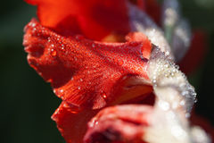 Bloom - water drops Royalty Free Stock Photography
