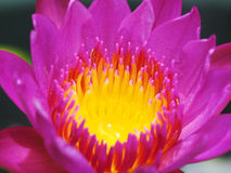 Bloom Water Lily. Water Lily have begun to blossom Stock Photography