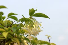 Bloom white flower of wrightia religiosa with green leaves on the tree. The flower of Wrightia lanceolata with blue sky background Stock Images
