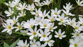 Bloom of white. White flowers blooming in spring Royalty Free Stock Images