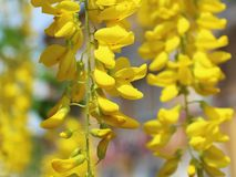Bloom yellow wisteria background stock image