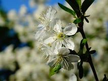 bloom z drzewa Obrazy Royalty Free