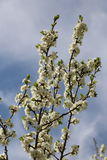 bloom z drzewa Obrazy Stock