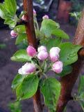 bloom z drzewa Zdjęcia Stock