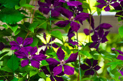 Bloomed blue clematis. It is wonderful to look at the blossoming blue clematis in the summer royalty free stock photo