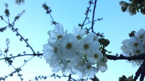Bloomed cherry tree in April. A bloomed cherry tree branch in mid Spring against a clear sky royalty free stock images