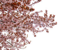 Bloomed cherry tree. Over white background, Milano, Italy Royalty Free Stock Photo