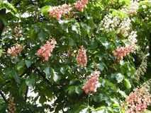 Bloomed chestnut flowers. On the tree stock photography
