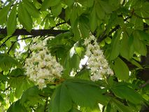 Bloomed chestnut flowers. On the tree stock photo