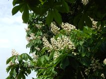 Bloomed chestnut flowers. On the tree royalty free stock photography