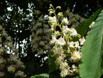 Bloomed chestnut flowers. On the tree royalty free stock image