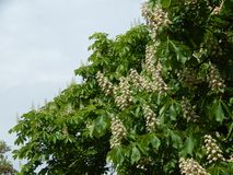 Bloomed chestnut flowers. On the tree royalty free stock images