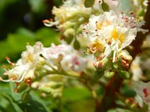 Bloomed chestnut flowers. On the tree stock images