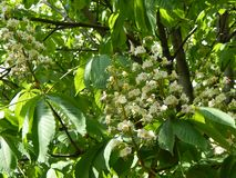 Bloomed chestnut flowers. On the tree stock photos