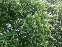 Bloomed chestnut flowers. On the tree stock image