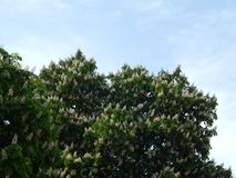 Bloomed chestnut flowers. On the tree royalty free stock photo