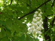 Bloomed chestnut flowers on the tree. Bloomed chestnut the flowers white stock images