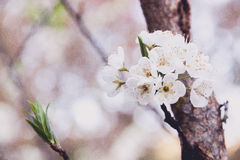 Bloomed Chinese plum growth. And background of bokeh Royalty Free Stock Photography